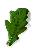Le chêne pubescent, emblématique du Causse en Quercy